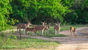 Табун оленей Цейлона Стоковые Изображения RF