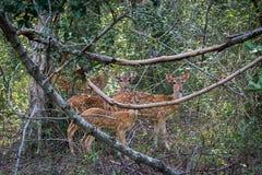 Табун оленей Цейлона Стоковое Изображение RF
