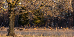 Табун оленей Стоковые Фото