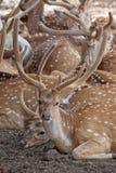 Табун оленей Стоковые Изображения RF