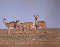 Табун оленей Стоковое фото RF