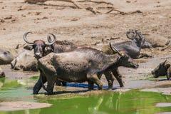 Табун одичалого азиатского буйвола в пруде воды Стоковая Фотография RF
