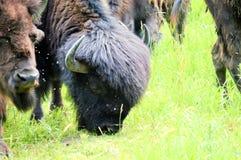 Табун одичалого бизона пася в поле Стоковые Фото