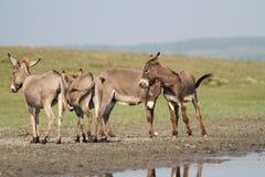 Табун одичалых ослов играя в луге Стоковая Фотография