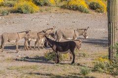 Табун одичалых Burros весной Стоковая Фотография RF