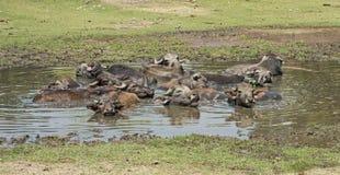 Табун одомашниванного поголовья индийского буйвола в водопое Стоковая Фотография
