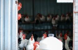 Табун петухов в амбаре стоковая фотография
