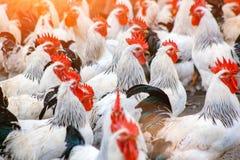 Табун петухов на ферме стоковое изображение rf
