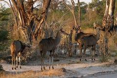 Табун просматривать Kudu Стоковое фото RF