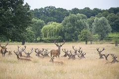Табун рогача красных оленей в ландшафте поля лета Стоковые Изображения RF