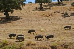 Табун свиней есть сухой выгон в лете Стоковая Фотография