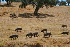 Табун свиней есть сухой выгон в лете Стоковые Фотографии RF