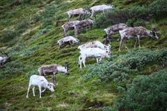 Табун северного оленя Стоковое Изображение
