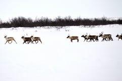 Табун северного оленя стоковые фото