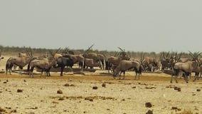 Табун сернобыка в Намибии сток-видео
