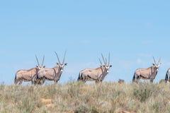Табун сернобыка в национальном парке зебры горы Стоковое Изображение RF