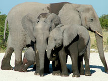 табун слона Стоковые Изображения