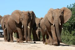 табун слона Стоковое фото RF