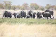 Табун слонов в Намибии, Африке Стоковое Изображение RF
