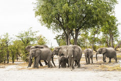 Табун слонов Стоковая Фотография RF