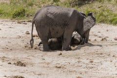 Табун слонов Буша африканца стоковые изображения rf