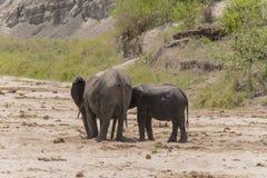Табун слонов Буша африканца стоковое изображение rf