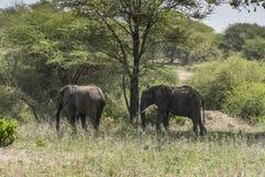 Табун слонов Буша африканца стоковая фотография