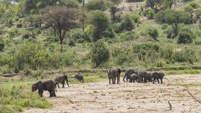 Табун слонов Буша африканца стоковое фото