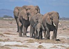 Табун слонов стоковое фото