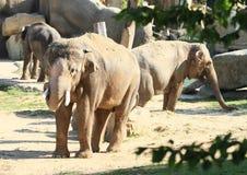 Табун слонов Стоковая Фотография