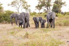 Табун слонов стоковые изображения