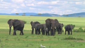 Табун слонов Serengeti акции видеоматериалы