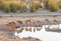 Табун темнокожей импалы на waterhole в северной Намибии Стоковое Изображение RF