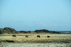 Табун темных исландских лошадей на луге Стоковые Фотографии RF
