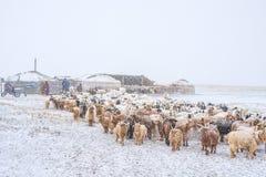 Табун травоядных животных в снежной прерии Стоковые Изображения RF
