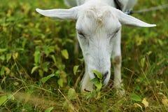 Табун утят бежать вдоль травы Стоковые Фотографии RF