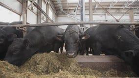 Табун черноты устрашает подавая солому от стойла на амбаре металла фермы акции видеоматериалы