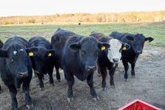 Табун черных коров говядины в выгоне зимы Стоковые Изображения