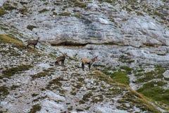 Табун шамуа в горах стоковые изображения rf
