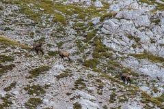 Табун шамуа пася в горах стоковое изображение rf