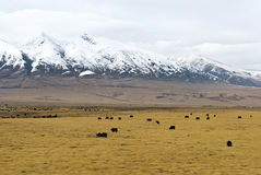 Табун яков перед снежными горами в облаках в Тибете Стоковые Изображения