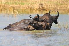 Табун bubalis буйвола индийского буйвола плавая в озере Стоковая Фотография RF