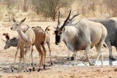 Табун eland выпивая от waterhole Стоковые Изображения