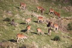 Табун eland пася Стоковые Изображения RF