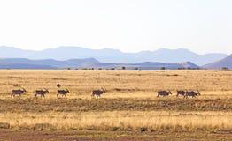 табун eland Стоковая Фотография RF