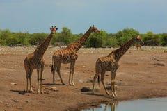 Табун Giraffes Стоковые Фото