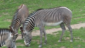 Табун grevyi Equus зебры Grevy пася на зеленой траве сток-видео
