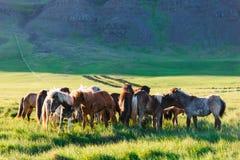 Табун Icelandic лошадей Стоковые Изображения RF