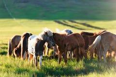 Табун Icelandic лошадей Стоковые Фотографии RF