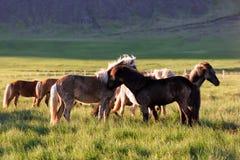 Табун Icelandic лошадей Стоковые Изображения